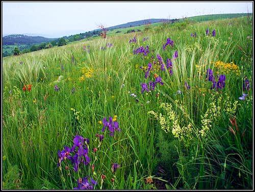 Zalipnik meadows in May