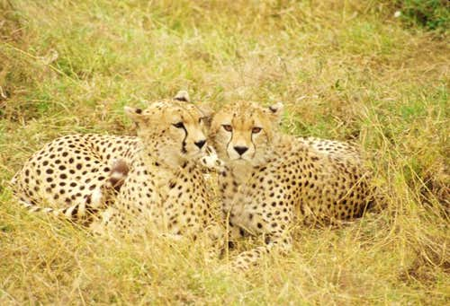 Cheetah\'s resting in the Serengeti