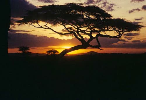 Acacia tree at sunset in the Serengeti