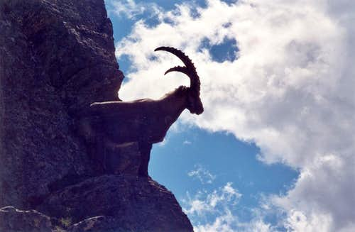 Ibex on the North ridge of Tagliaferro.