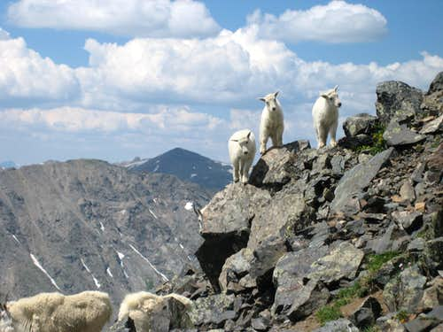 Baby Goats on Quandary