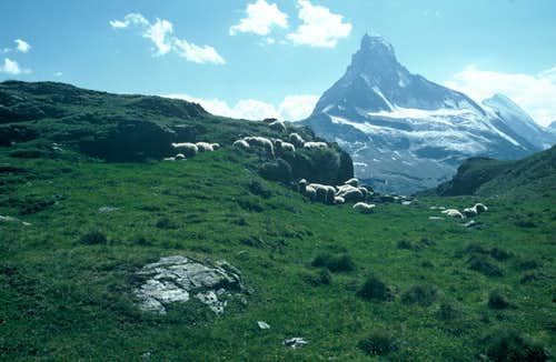 Sheep and Matterhorn
