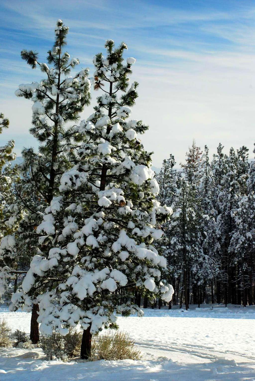 Pine in Morning Light