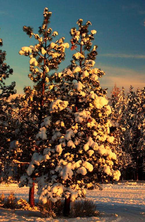 Pine at Sunset