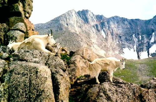 Goats near Summit Lake. Mount...