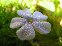 Dew Blossom