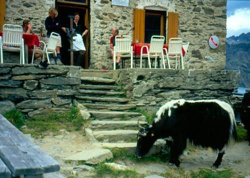 Yaks at Hintergrat hut