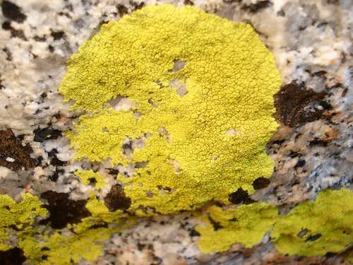 yello lichen