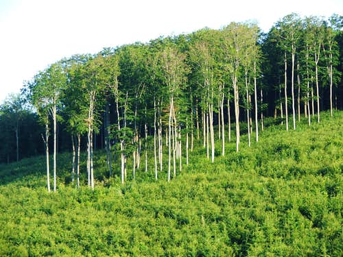 Fagus sylvestris among Picea abies