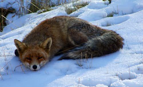 The fox of Maurizio
