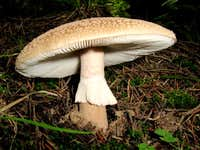 Mushrooms of the Carpathian Mountains