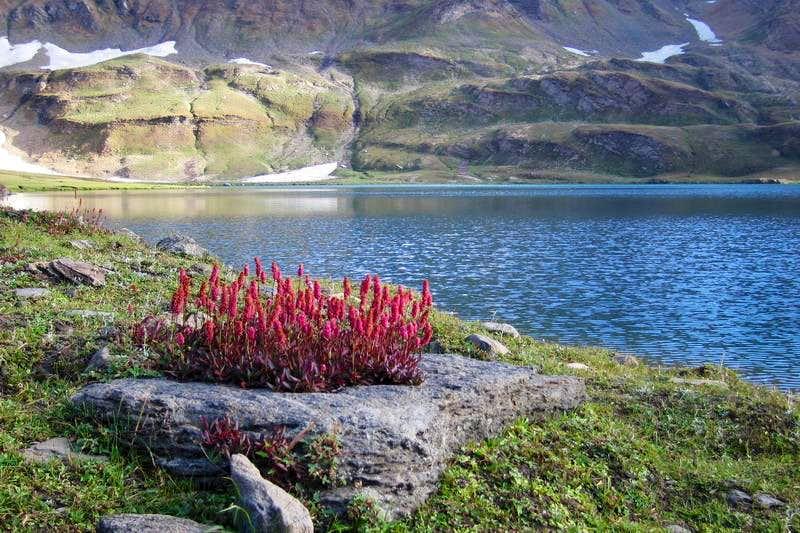 Flowers & Dodhipat Lake, Kaghan Valley, Pakistan