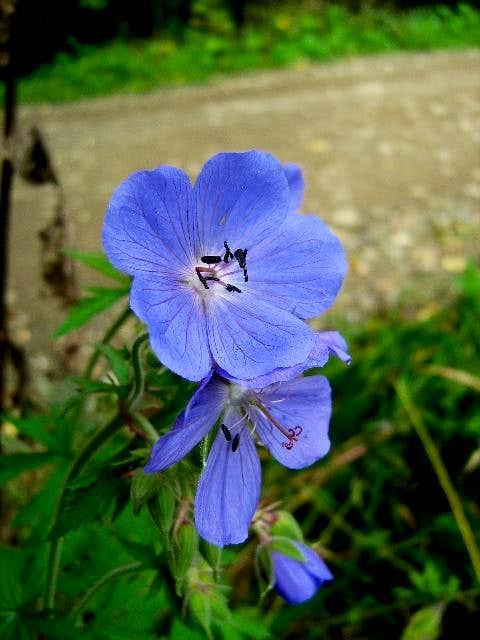 Purple Haze (Geranium pratense)