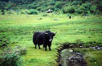 A yak grazing