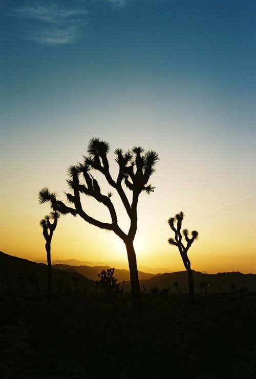 Jtree Sunset