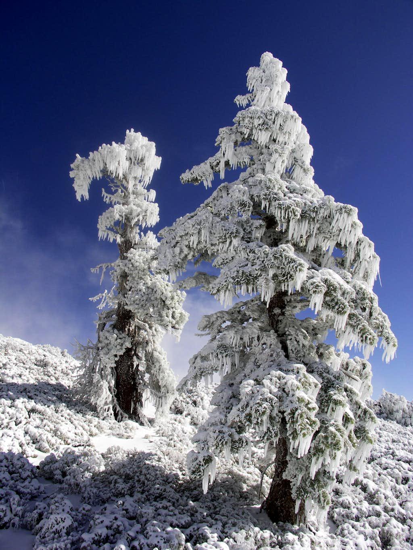 Iced Trees on Baldy