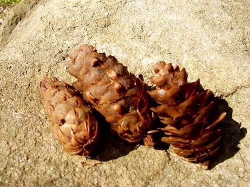 Pine cones of Douglas-fir