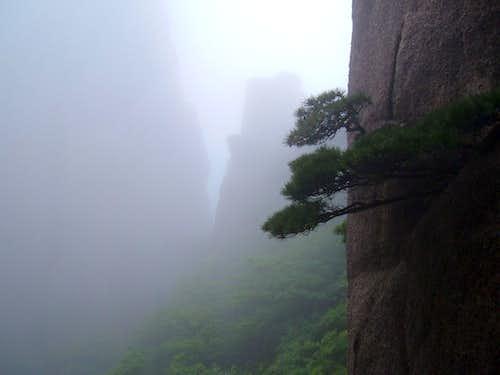 Pine Tree in Huangshan