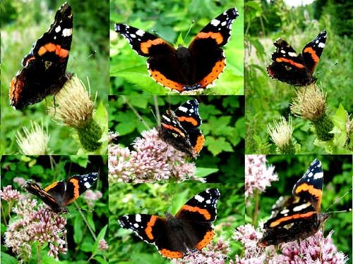 Red Admiral Compilation