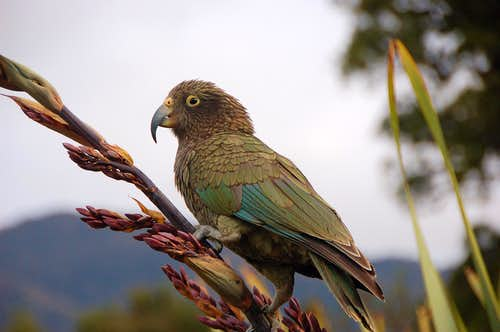 Notorious Kea