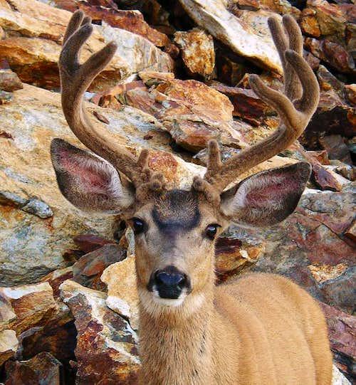 Valhalla Mule Deer