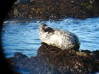 Seal at San Simeon, CA