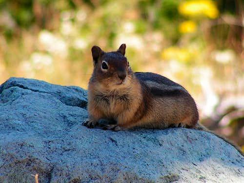 Ground Squirrel at Mt. St. Helens
