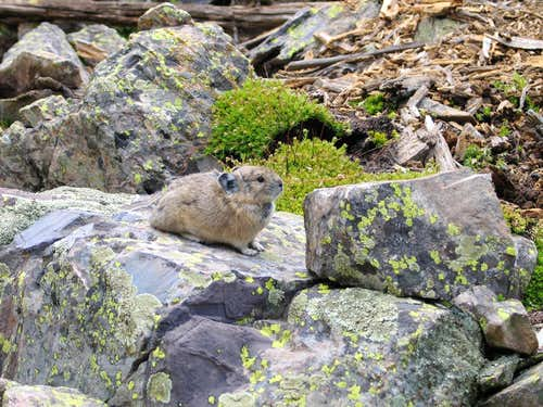 Pika near Buckskin Pass