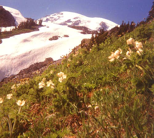 Beargrass beneath Rainier