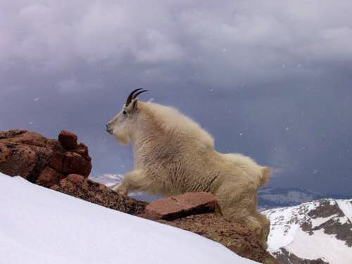 Mountain Goat on Mt Evans