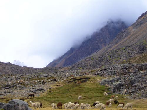 Llamas and Cerro Cerani