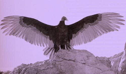 Vulture @ rest