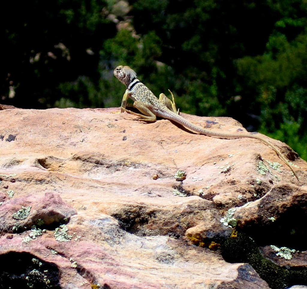 Collared Lizard on Frigidare Buttress