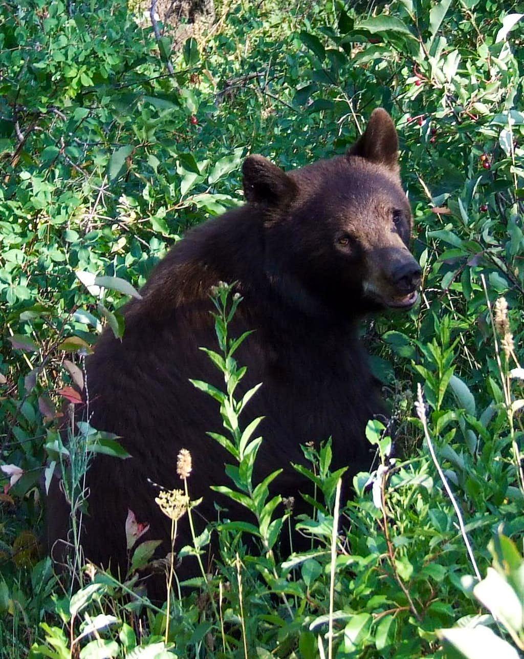 Berry Eating Bear near Phelps Lake