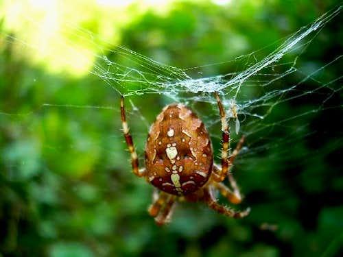 Cross Spider at work