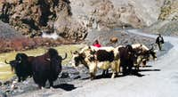 A group of yaks on Khunjrab Road.