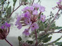 Sandy Flowers