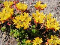 Sedum Flowers at Mt. St. Helens