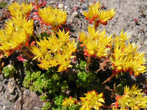 Sedum Flowers at Mt. St. Helens