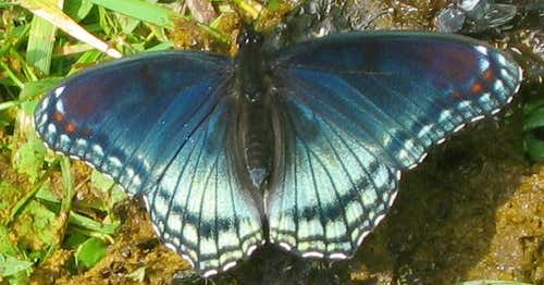 Butterfly near Holly River
