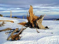 Remnants of a Bristlecone Pine