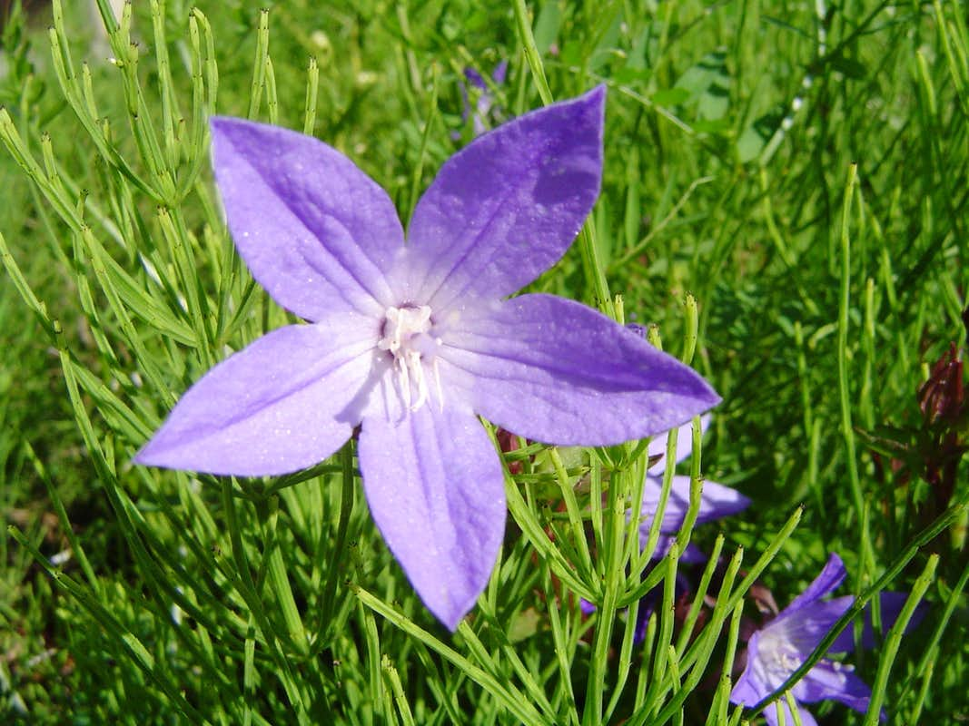Purple Star Flower s Diagrams & Topos SummitPost