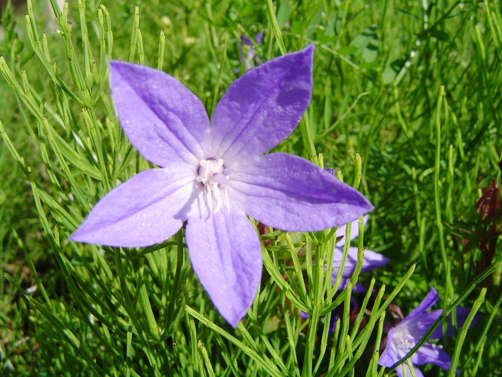 Purple Star Flower Photos Diagrams Topos Summitpost