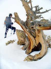 A gnarly dead limber pine on Upper West Ridge of Storm