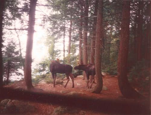 Ktaadn forest. Two Moose in...