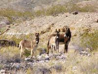 Wild Burros of Arizona
