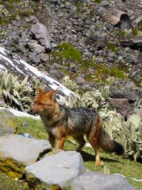 Andrean Fox