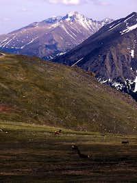 Elk grazing beneath Long's Peak