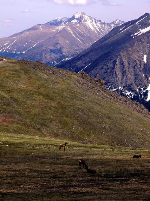 Elk grazing beneath Long\'s Peak