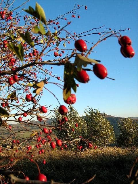 Fruits of Common Hawthorn in autumn
